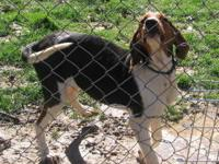 Treeing Walker Coonhound - John Boy - Medium - Young -