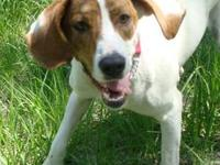 Treeing Walker Coonhound - Junie - Medium - Adult -