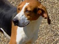 Treeing Walker Coonhound - Katie - Medium - Adult -