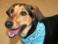Treeing Walker Coonhound - Lexi - Large - Adult -