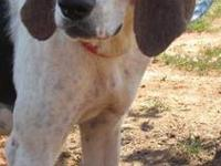 Treeing Walker Coonhound - Martina - Large - Young -