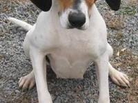 Treeing Walker Coonhound - Matilda - Large - Adult -