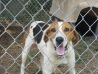 Treeing Walker Coonhound - Montanna - Large - Adult -