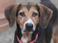 Treeing Walker Coonhound - Mya - Large - Young - Female