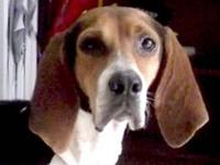 Treeing Walker Coonhound - Natalie - Large - Adult -
