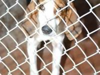 Treeing Walker Coonhound - Pasley - Medium - Young -