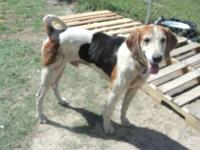 Treeing Walker Coonhound - Paulie - Medium - Adult -