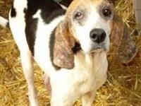 Treeing Walker Coonhound - Peaches - Large - Adult -