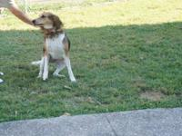Treeing Walker Coonhound - Reggie - Large - Adult -