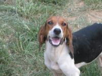 Treeing Walker Coonhound - Riddle - Medium - Adult -