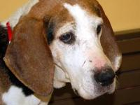 Treeing Walker Coonhound - Rj - Large - Adult - Male -