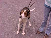 Treeing Walker Coonhound - Rock - Large - Adult - Male