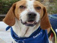 Treeing Walker Coonhound - Saban - Medium - Young -