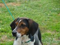 Treeing Walker Coonhound - Sadie - Large - Young -