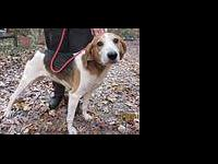 Treeing Walker Coonhound - Scott (hh) - Medium - Adult