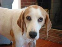 Treeing Walker Coonhound - Scout - Medium - Adult -
