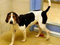 Treeing Walker Coonhound - Sherlock - Video & Staff
