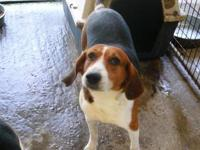 Treeing Walker Coonhound - Shiloh - Large - Adult -