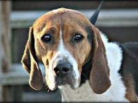 Treeing Walker Coonhound - Si - Large - Adult - Male -