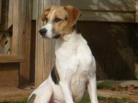Treeing Walker Coonhound - Stasha - Large - Adult -