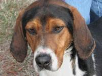 Treeing Walker Coonhound - Sunshine - E List - Medium -
