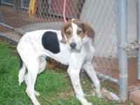 Treeing Walker Coonhound - Ty - Large - Adult - Male -