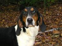 Treeing Walker Coonhound - Walker - Large - Young -
