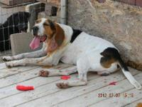 Treeing Walker Coonhound - Walker - Medium - Adult -