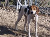 Treeing Walker Coonhound - Wendy - Large - Young -