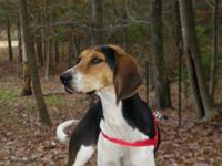 Treeing Walker Coonhound - Willow - Medium - Young -