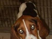 Treeing Walker Coonhound - Z. T. - Medium - Young -
