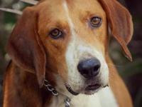 Treeing Walker Coonhound - Donnie - Large - Adult -