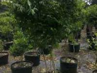 We have beautiful container grown trees. If your