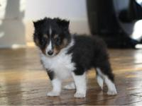 Gorgeous AKC-papered (complete registration). Shetland