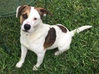 Tres is a 2 year old Jack Russell Terrier mix that came