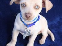 Treva is a 2 month old Chihuahua mix puppy who is