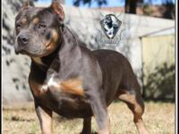 "ABKC CH ""Roxy"" is for sale to approved home. Bloodline:"