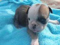 Small to Minaiture size BLUE Tri female puppy for sale