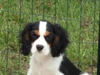 Tri-color 9 month old male Cavalier King Charles