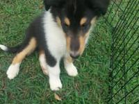 8 week old Tri color Rough Coat Collie. Male. Full AKC