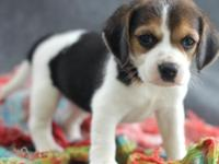I have a beautiful litter of pure breed beagle
