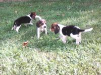 1 females & 2 males-born May 15,15- National Kennel
