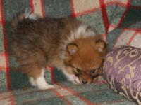 This is a very sweet playful little male pom. Very