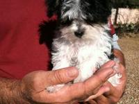 Rare tri colored male Morkie 12week old baby boy wormed