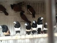 I have several pairs of tri-coloured munia availalbe.