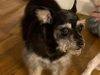 My story Tricky is an 8 year old Chihuahua/ Schnauzer