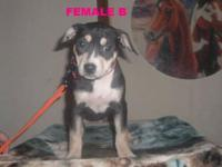 Tricolor American Pitbull Terrier puppies forsale, just