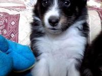 Beautiful tricolor female sheltie pup. Sire is AKC/CKC