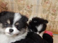 7 week old male tricolor pomeranian puppy wormed and