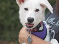 Trigger - Am. Eskimo Mix - Female - 6 Months -